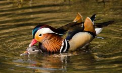 Mandarin ducks mating