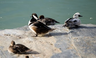Hooded Merganser (left), Male Smew (right)