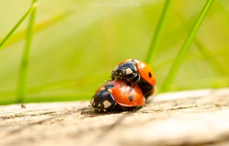 Ladybirds mating