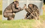 Chimpanzees monkeying around