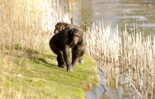Chimpanzees monkeying around