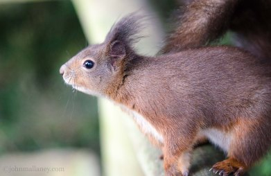 Red Squirrel 1