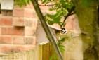 Male Great Spotted Woodpecker