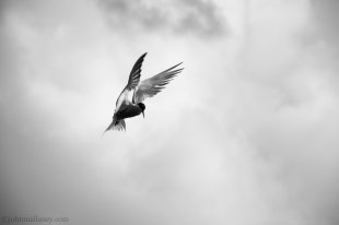 Common Tern in flight