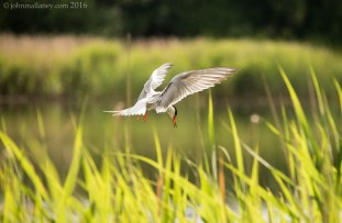 Common Tern 1