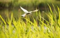 Common Tern 3
