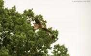 Red Kite in Flight 3