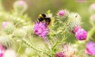 Early bumblebee 3