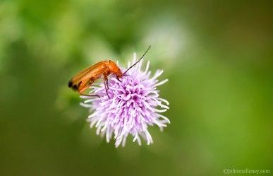hogweed bonking beetle 1