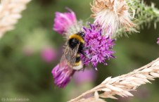 White- tailed bumblebee 1
