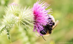 White- tailed bumblebee 2