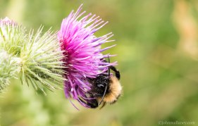 White- tailed bumblebee 3