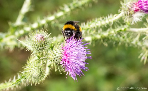White- tailed bumblebee