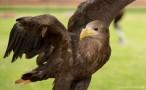 white tailed eagle 3