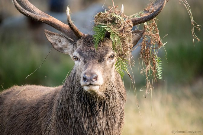 Deer Rut – Richmond Park