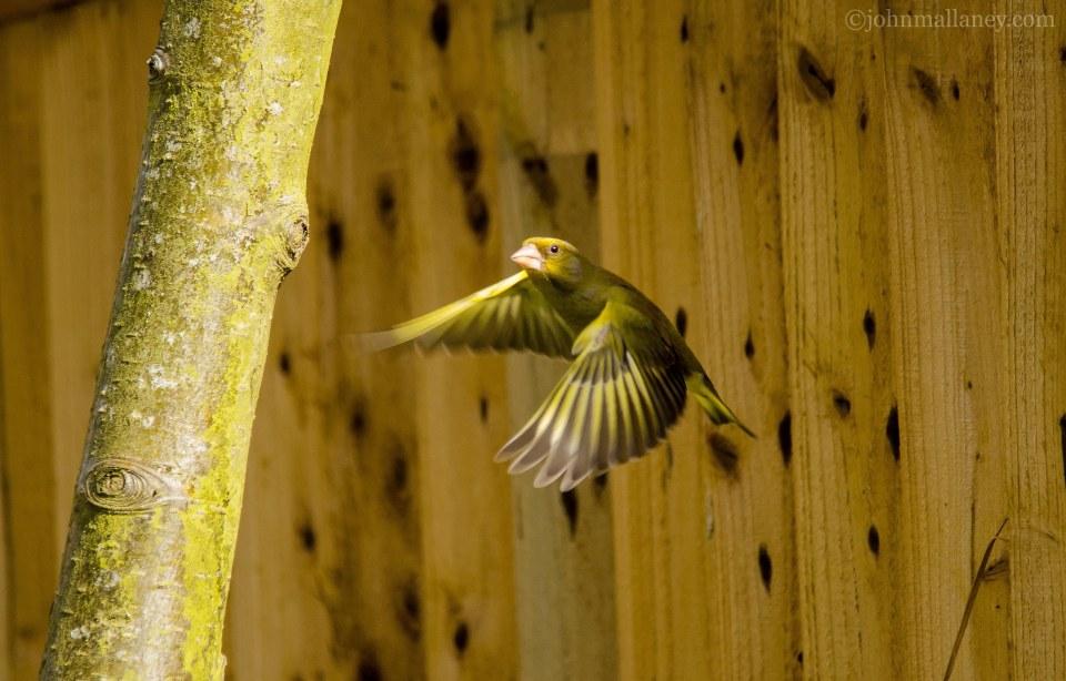 greenfinch-in-flight