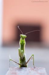 praying-mantis-2