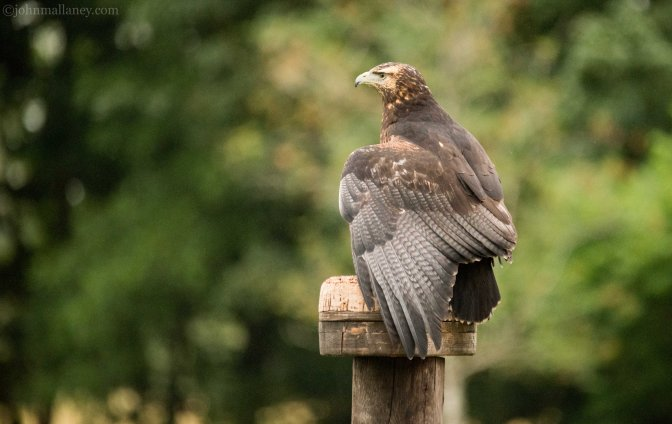 Grey Buzzard