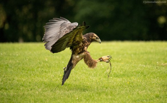 grey-buzzard-flight