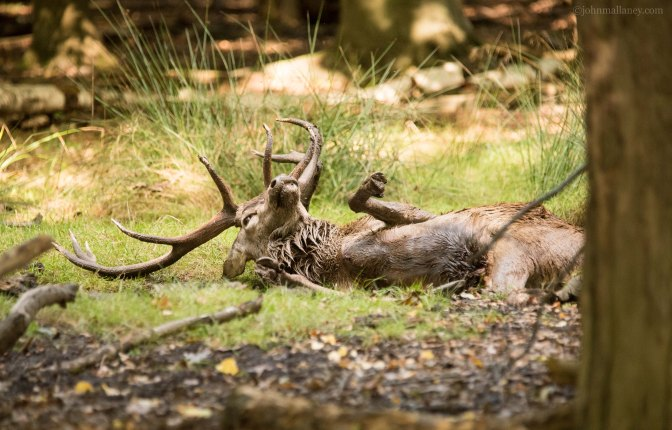 Red Deer Stag Wallowing