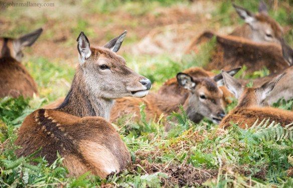 red-deer-hind