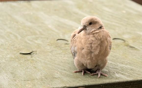 Juvenile Collared Dove