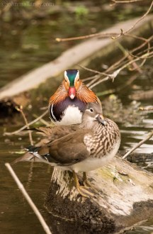Male and Female Mandarin Duck