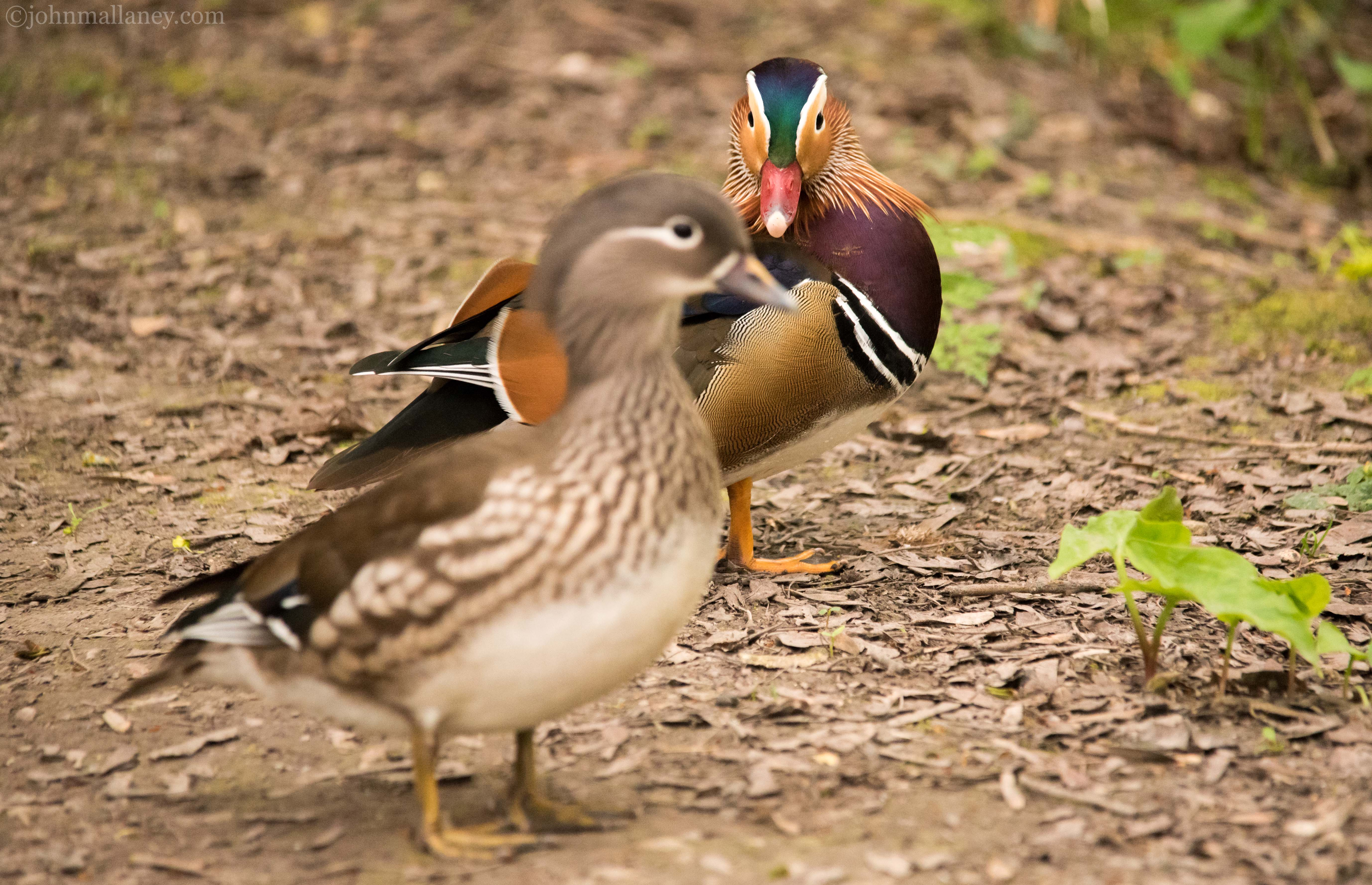 Mandarin Ducks Male And Female Duck