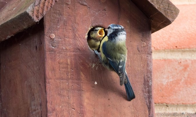 Blue Tits Feeding their Chicks