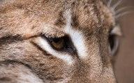 European Lynx - Cat Survival Trust