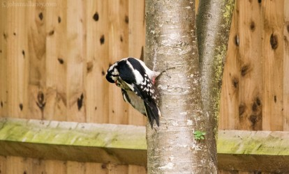 Great Spotted Woodpecker - female and juvenile male