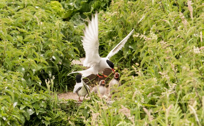 Arctic Tern and Chicks
