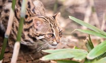 Asian Leopard Cat