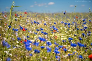 Poppies and Cornflowers