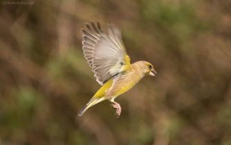 Greenfinch in flight