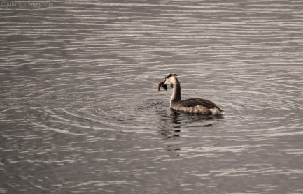 Great Crested Grebe with catch.