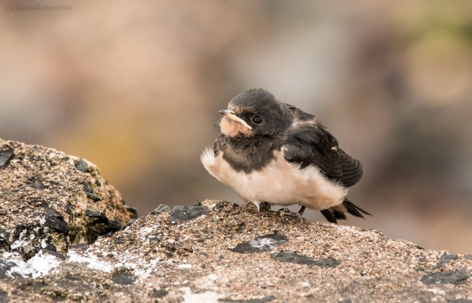 Juvenile Swallow