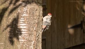 Juvenile Male Woodpecker