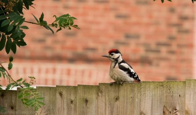 Juvenile Male Great Spotted Woodpecker