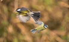 Blue Tit in flight.