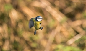 Blue Tit in flight.