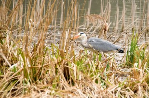 Grey Heron Vs Frog