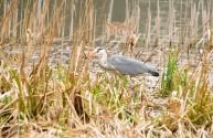 Grey Heron Vs Frog