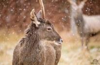Bactrian Deer