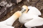 Fighting Northern Gannets