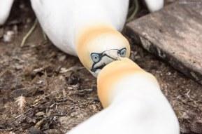 Fighting Northern Gannets