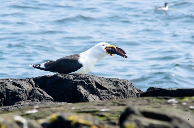 Great black-backed gull – Seafood Lunch