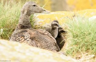 Eider Duck with Chicks