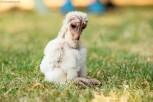 Barn Owl Owlet