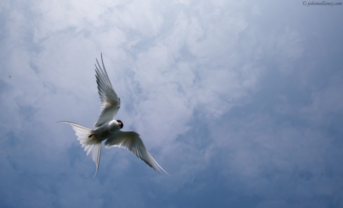 Arctic Terns in action